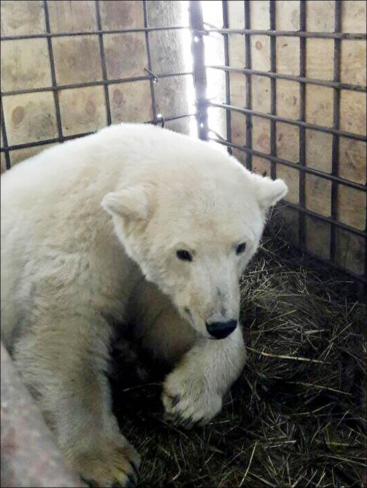 πολικής αρκούδας