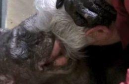 χιμπατζή